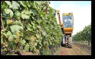 la raccolta azienda vitivinicola ricci miniatura